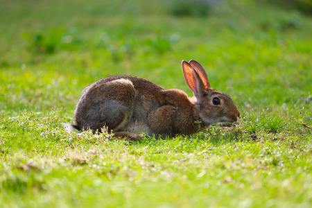 european rabbits grazing and browsing in a meadow in an urban park in berlin