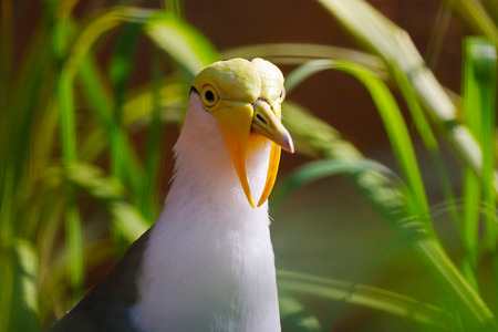 head of a surprised looking weird funny masked lapwing between green grass stems in the sun