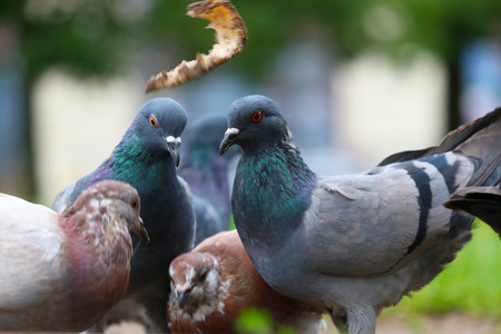 group of pigeons sitting on the ground fighting struggling for food bread Stock Photo