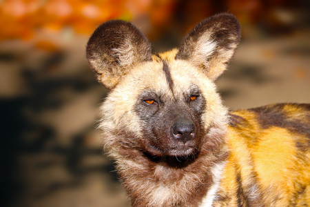 head of an african wild dog