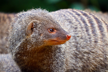 banded mongoose looking backwards