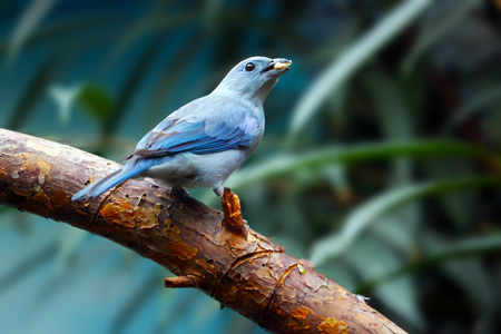 blue-gray tanager bird holding a piece of a fruit in its beak sitting on a branch  Stock Photo
