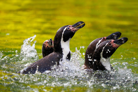 a group of four splashing humboldt penguins in green water Stock Photo