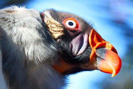 colorful head of a lurking king vulture (sarcoramphus papa) in portrait view in front of a blue sky in the sun