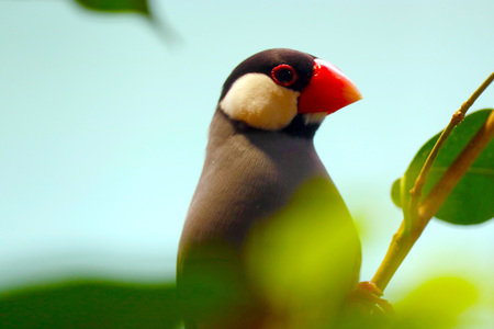 java sparrow (padda oryzivora) sitting between blurry leaves