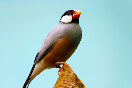 java sparrow (padda oryzivora) sitting on top of a tree trunk in front of a blue sky