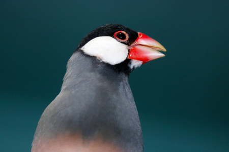 head of a twittering java sparrow (padda oryzivora) in front of a dark bluish gray background