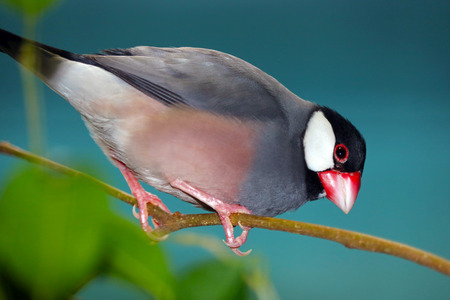 java sparrow (padda oryzivora) perching on a branch in front of a dark bluish background looking downwards Stock Photo