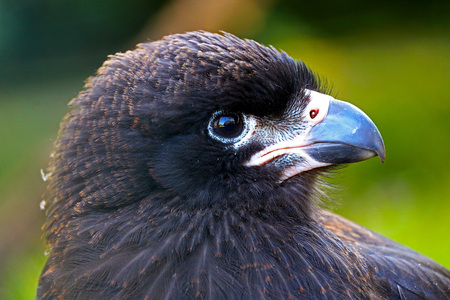 head of a juvenile striated caracara (phalcoboenus australis) falcon in profile view