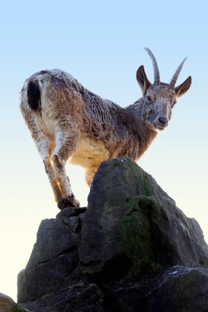 female ibex (capra sibirica) standing on top of a rock at sunset Standard-Bild - 98137212