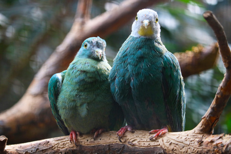 a cute couple of black-naped or black-headed fruit doves (ptilinopus melanospilus) sitting on a branch