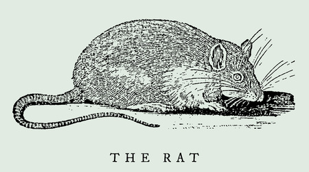 the rat in profile view (after an antique illustration from the 17th century)