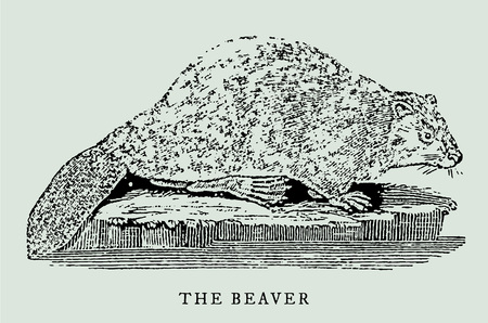 the eurasian or european beaver (castor fiber) in profile view (after an antique or vintage illustration from the 18th century)
