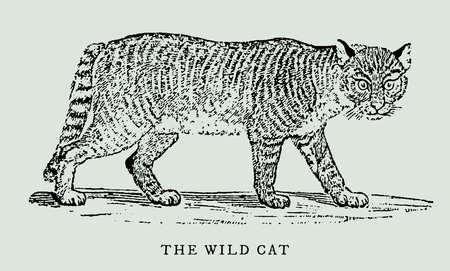 the wildcat or wild cat (felis silvestris) in profile view (after a vintage woodcut, engraving, illustration from the 18th century)