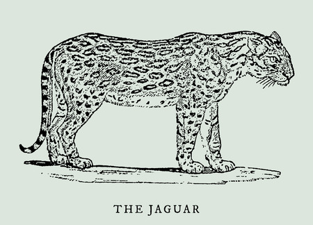 the jaguar (panthera onca) in profile view (after a vintage woodcut, engraving, illustration from the 18th century)
