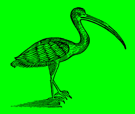 Scarlet ibis (eudocimus ruber) in front of a bright green background (after a historical woodcut illustration from the 17th century)
