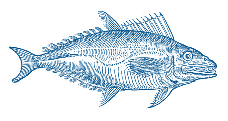 Blue colored tuna fish (thunnus) in profile view (after a historical or vintage woodcut illustration from the 16th century)