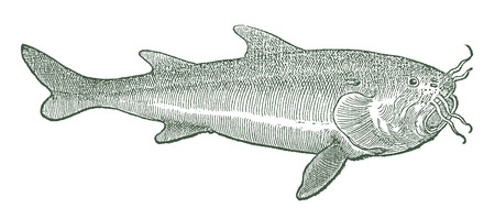 Beluga sturgeon (huso huso) in profile view (after a historical or vintage woodcut illustration from the 16th century) Stock Illustratie