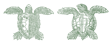 Marine sea turtle in top view and bottom view vector illustration.