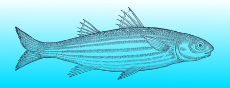Flathead gray mullet  in profile view on a blue-green gradient background Standard-Bild - 101233050
