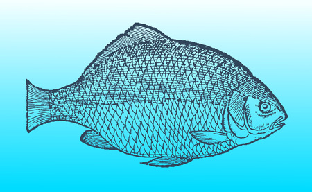 Crucian carp  in profile view on a blue-green gradient background