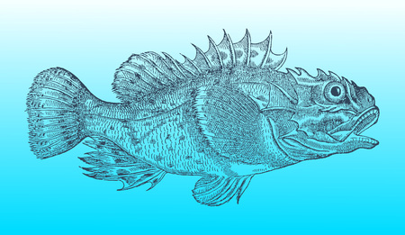 Shorthorn sculpin or short-spined sea scorpion (myoxocephalus scorpius) in profile view on a blue-green background (after a historical or vintage woodcut illustration from the 16th century)