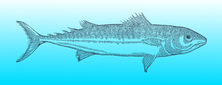 Atlantic mackerel (scomber scombrus) in profile view on a blue-green gradient background (after a historical or vintage woodcut illustration from the 16th century) Illustration