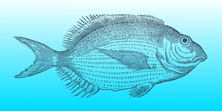 White seabream or sargo (diplodus sargus) in profile view on a blue-green gradient background (after a historical or vintage woodcut illustration from the 16th century)