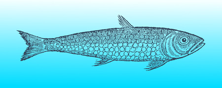 Pilchard or sardine in profile view on a blue-green gradient background