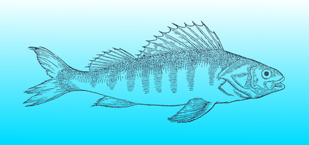 European perch in profile view on a blue-green gradient background