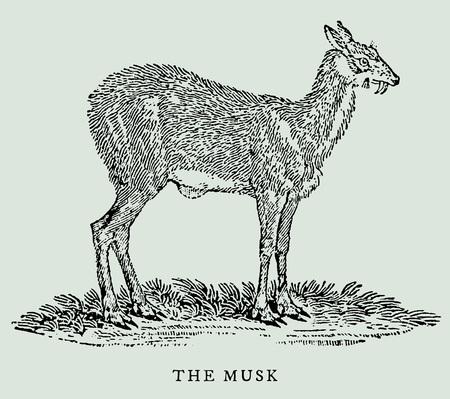 The musk or siberian musk deer (musk moschiferus) in profile view (after an antique woodcut, engraving, illustration from the 18th century) Ilustrace