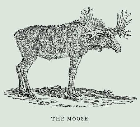 The moose (alces alces) in profile view (after a vintage woodcut, engraving, illustration from the 18th century) Иллюстрация