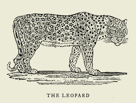 The leopard in profile view (after an antique vintage woodcut engraving illustration from the 18th century) Ilustração