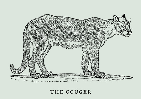 The cougar (puma concolo) in profile view (after a vintage woodcut engraving illustration from the 18th century)
