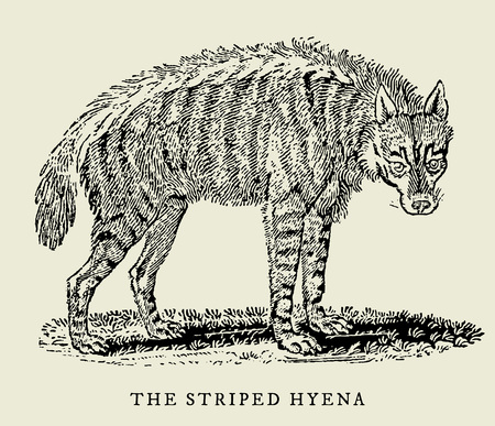 The striped hyena (hyaena hyaena) in profile view (after an antique or vintage woodcut engraving illustration from the 18th century)