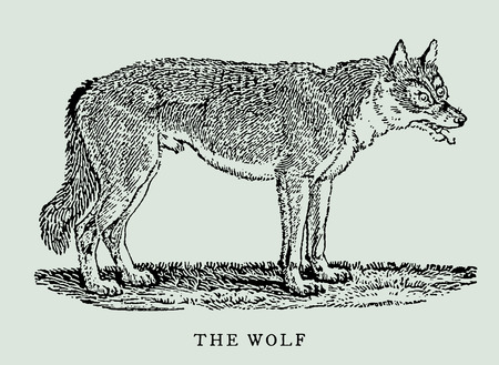 The wolf (canis lupus) in profile view (after an antique or vintage woodcut engraving illustration from the 18th century)