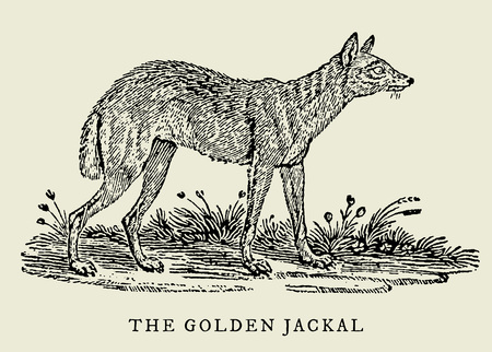 The golden jackal (canis aureus) in profile view (after an antique or vintage woodcut engraving illustration from the 18th century) 向量圖像