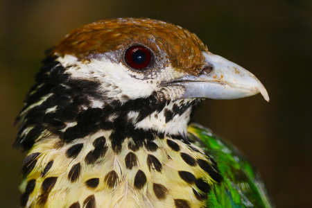 head of a white-eared catbird (ailuroedus buccoides) in profile view Stock Photo