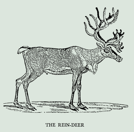 The rein-deer or caribou in profile view (after an antique or vintage woodcut engraving illustration from the 18th century) Stock Vector - 102132580