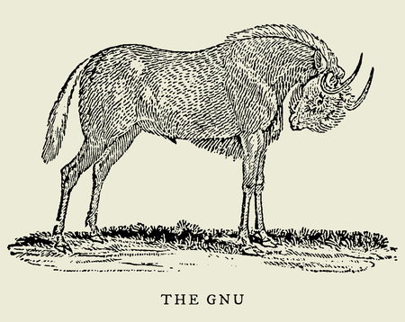 The gnu or black wildebeest (connochaetes gnou) in profile view (after an antique or vintage woodcut engraving illustration from the 18th century)