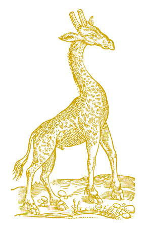 Giraffe in profile view. Illustration after a vintage woodcut from the 16th century