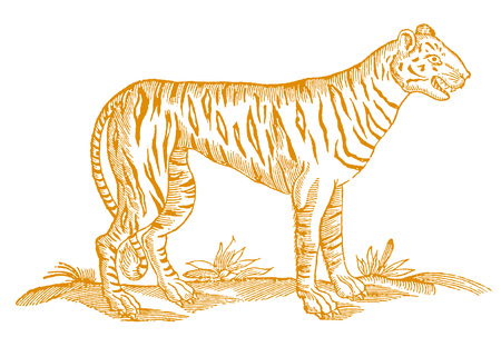 Tiger in profile view with open mouth showing teeth. Orange colored illusion after a vintage woodcut from the 17th century