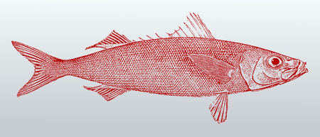 Redbait (Emmelichthys nitidus), a fish from Australia in profile view. Illustration after a vintage lithography from the 19th century. Easy editable in layers