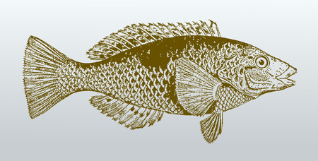 Spotty (notolabrus celidotus), a fish from australia in profile view. Illustration after a vintage lithography from the 19th century
