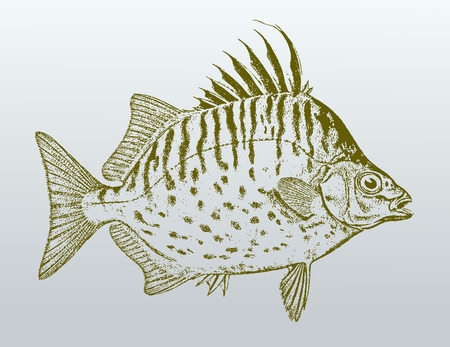 Spotbanded or silver scat (selenotoca multifasciata), a fish from Australia in profile view. Illustration after a vintage lithography from the 19th century. Easy editable in layers Stock Vector - 103026223