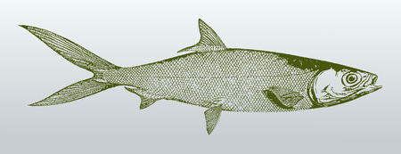 Milkfish (chanos chanos) from australia in profile view. Illustration after a vintage lithography from the 19th century