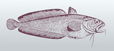 Bastard red cod or northern bastard codling (pseudophycis breviuscula), a fish from Australia in profile view. Illustration after a vintage lithography from the 19th century. Easy editable in layers