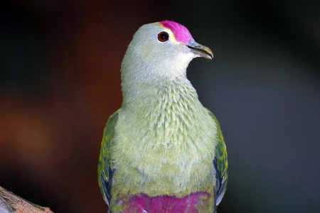 Rose-crowned fruit dove or pink-capped fruit dove (ptilinopus regina) with a violet-pink forehead in frontal view Stock Photo