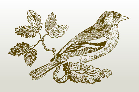 Common chaffinch (fringilla coelebs) sitting on a branch. Illustration after a woodcut engraving from the early 19th century. Easy editable in layers