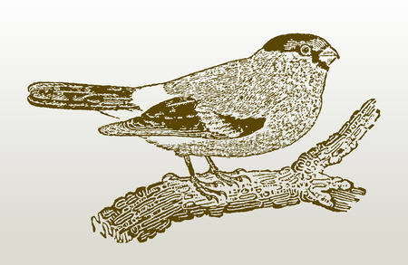 Eurasian bullfinch, common bullfinch, bullfinch (pyrrhula pyrrhula) sitting on a branch. Illustration after a woodcut engraving from the early 19th century. Easy editable in layers Çizim